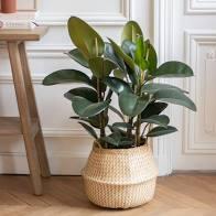 plante berga